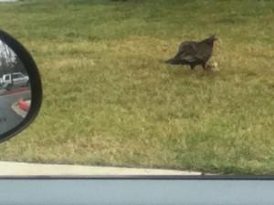 Turkey-buzzard